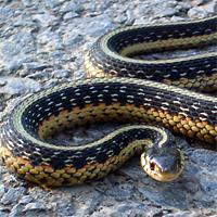 Raccolta animali parisi for Serpente cervone
